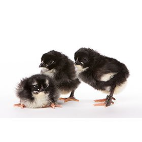 Day-Old Chicks:Black Copper Marans