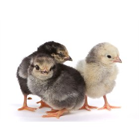 Day-Old Chicks: Columbian Wyandotte