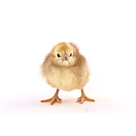 Day-Old Chicks: Buckeye
