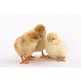 Day-Old Chicks: Golden Buff (Red Star)