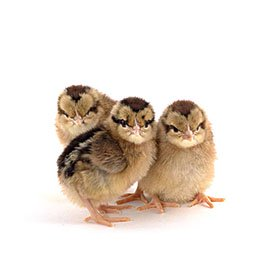 Day-Old Chicks: Light Brown Leghorn