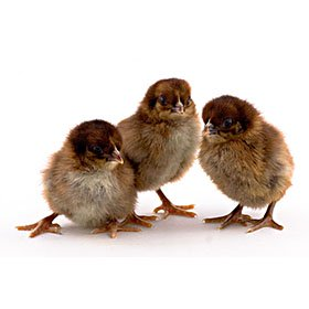 Day-Old Chicks: Partridge Plymouth Rock
