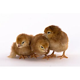Day-Old Chicks: Rhode Island Red