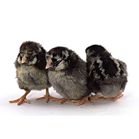 Day-Old Chicks: Silver Laced Wyandotte