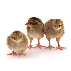 Day-Old Chicks: Welsummer