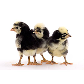 Day-Old Chicks: White Crested Black Polish