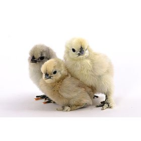 Day-Old Chicks: White Silkie Bantam