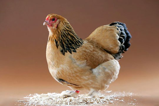 Caption: This Buff Brahma was a champion at the show where we photographed her.