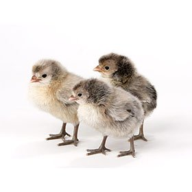 Day-Old Chicks: Appenzeller Spitzhauben