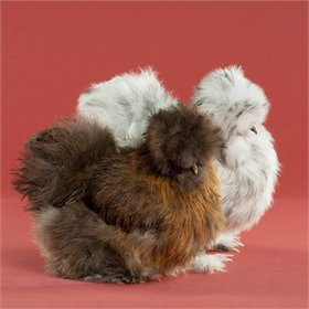 Day-Old Chicks: Assorted Silkie Bantams