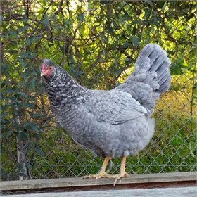 Hatching Eggs: Blue Barred Olive Eggers