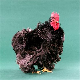 Hatching Eggs: Black Frizzle Cochin Bantams