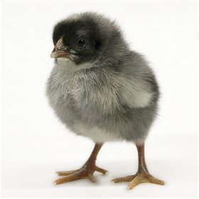 Day-Old Chicks: Blue Cuckoo Marans