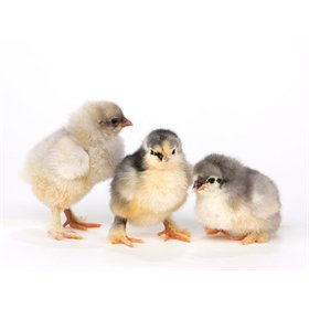 Day-Old Chicks: Blue Cochin