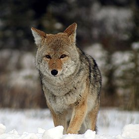 Coyote Pee-Repels Rats, Raccoons, Skunks + More