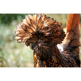 Day-Old Chicks: Golden Laced Polish