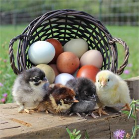 Hatching Eggs: Egg Envy Assortment