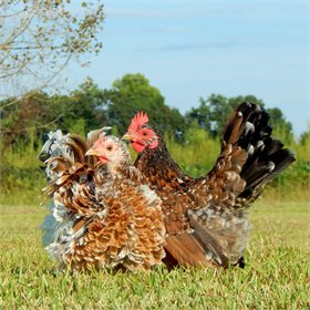 Hatching Eggs: Frizzled Serama Bantams