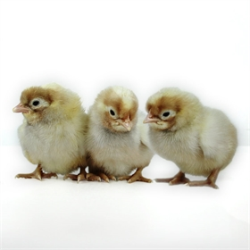 Day-Old Chicks: Frost White Legbar