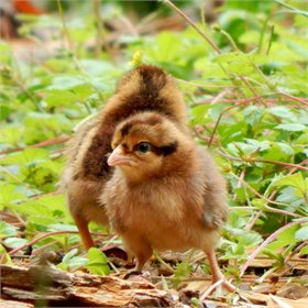 Chick Pack™: All-Pullet Assortment (5)