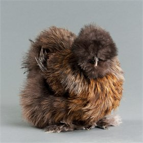 Day-Old Chicks: Partridge Silkie Bantam