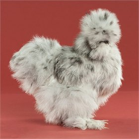 Day-Old Chicks: Blue Silkie Bantam