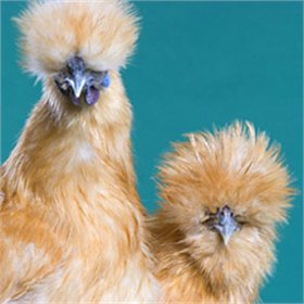 Day-Old Chicks: Buff Silkie Bantam