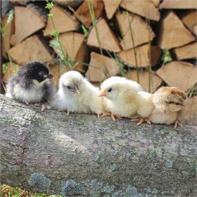 Chick Pack™: Ultra Rare Breeds Assortment