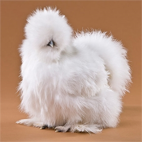 6-Week-Olds: Assorted Silkie Bantams