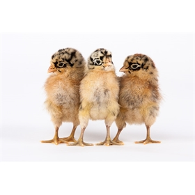 Day-Old Chicks: Sicilian Buttercup