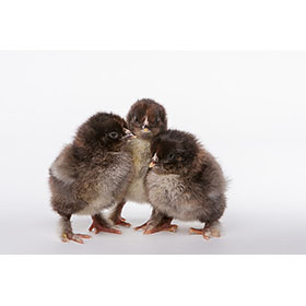 Day-Old Chicks: Partridge Cochin