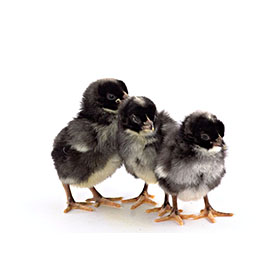 Day-Old Chicks: Silver Cuckoo Marans
