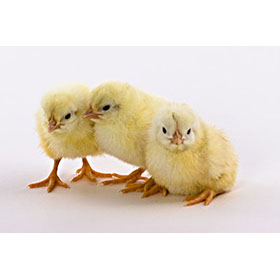 Day-Old Chicks: White Leghorn